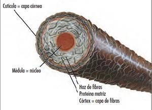 enfermedades de la fibra capilar tricoclasia